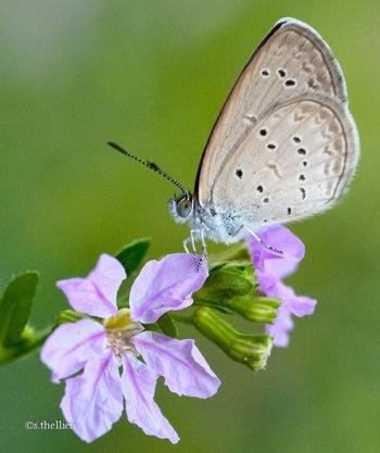 Serge Butterfly