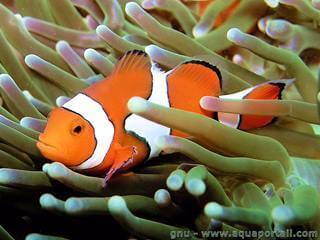 Ocellaris or False Percula Clownfish